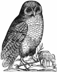Aldrovandi Owl