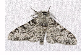 Industrial Melanism - Peppered Moth 1