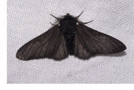 Industrial Melanism - Peppered Moth 2