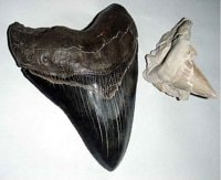 Megalodon Shark Fossilized Tooth